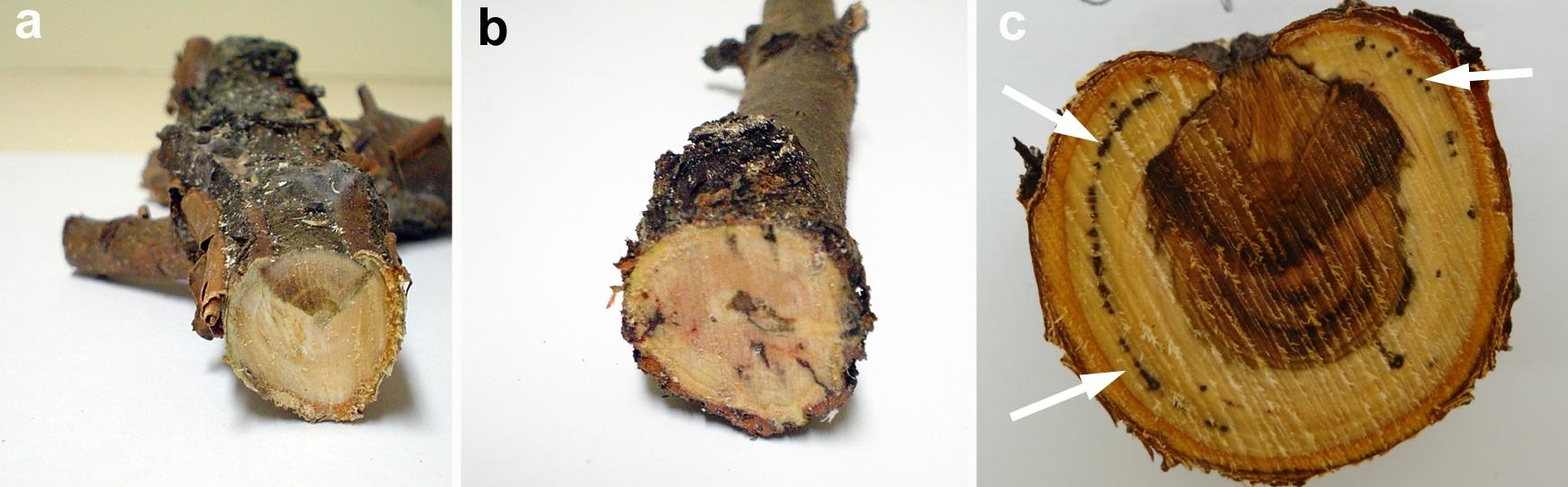 wingerd-stamsiekte-patogene-figuur-4