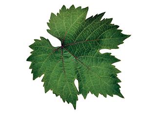 GenZ_leaf