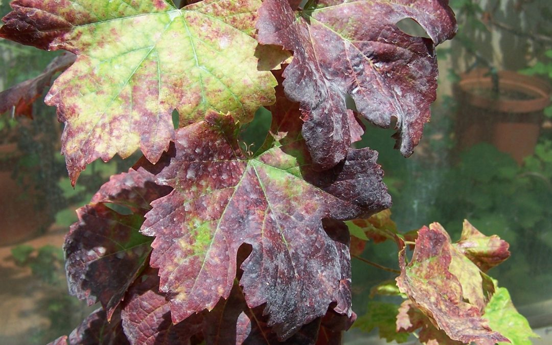 An overview on the genetic and biological variability of viruses in vineyards