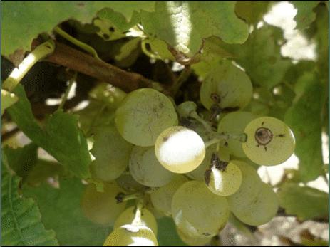 Weevils in vineyards