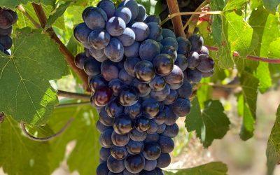 Breeding the next Pinotage: Advancements in wine grape breeding